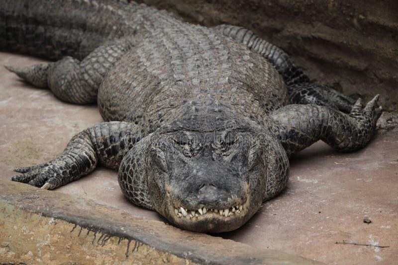 American alligator (Alligator mississippiensis). Wildlife animal royalty free stock photography