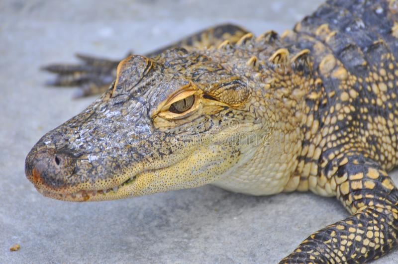 American alligator. Species head crolling stock images