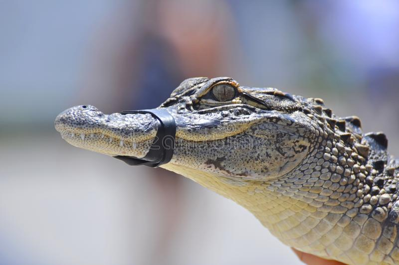 American alligator. Young species head royalty free stock photography