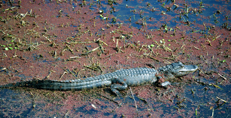 Download American Alligator Baby In A Murky Swamp Stock Photography - Image: 12630512