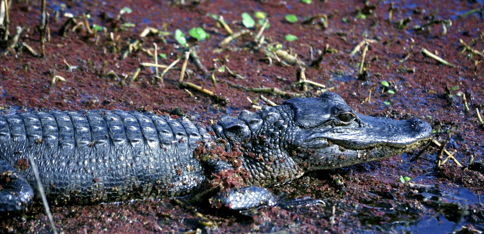 Download American Alligator Baby In A Swamp Stock Image - Image of creature, animal: 12630549