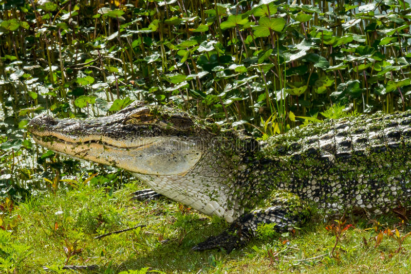 American Alligator. An American Alligator basking at the edge of a pond at St. Andrews State Park Panama City Beach Florida stock photo