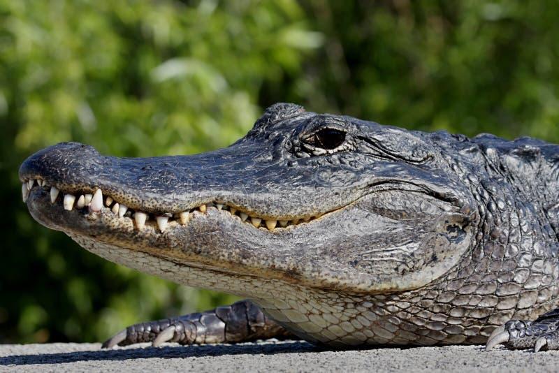 American Alligator Basking in The Sun royalty free stock image