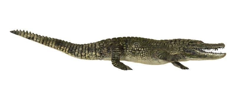 American Alligator royalty free stock photos
