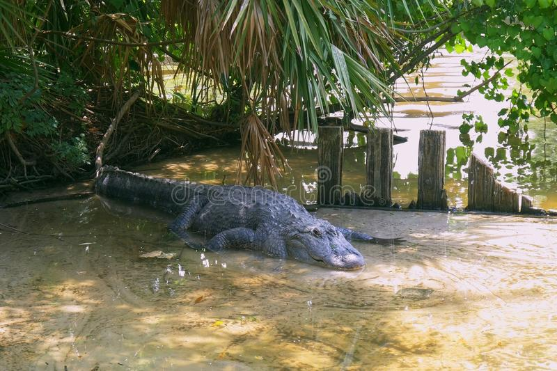 American Alligator - Alligator mississippiensis. American alligator is getting out from the water. Alligator is a large crocodile in the water. American stock photography