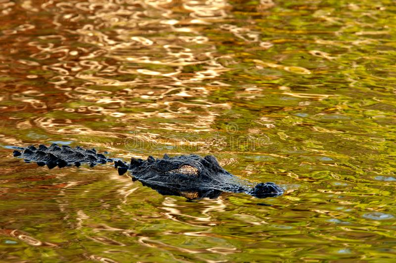 An American alligator floats on shiny green gold water. An American alligator with a golden eye floats on the surface of colorful shiny water reflecting stock photography