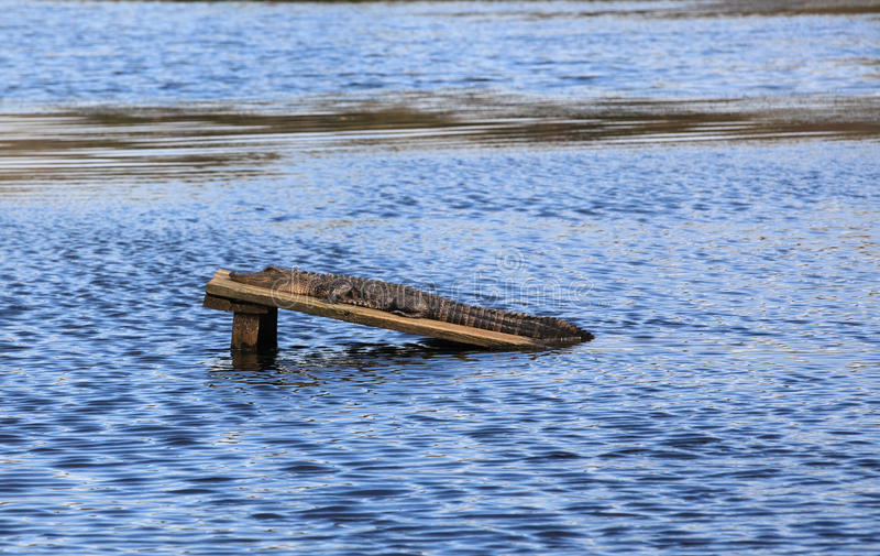 American Alligator Audubon Swamp Charleston SC. The american alligator is an important member of his ecosystem and is regarded as a keystone species. This gator stock images