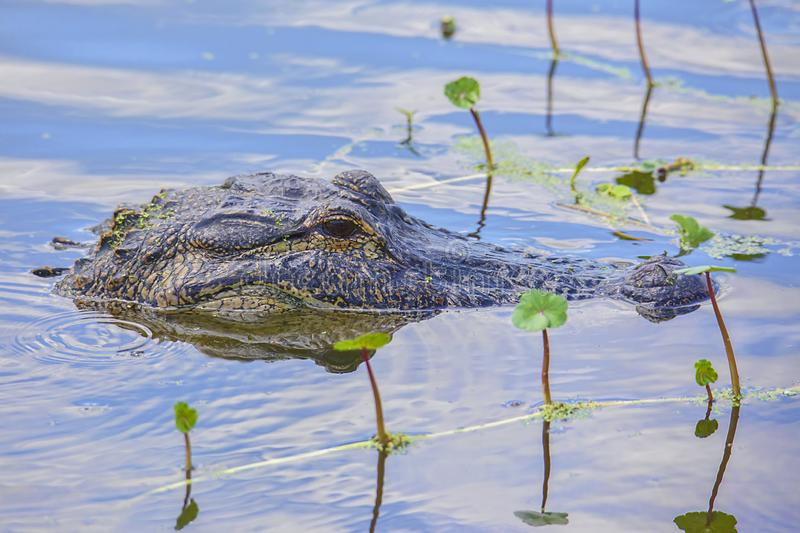 American Alligator Head Submerged In A Swamp. An American alligator with its head submerged in a swamp stock photo