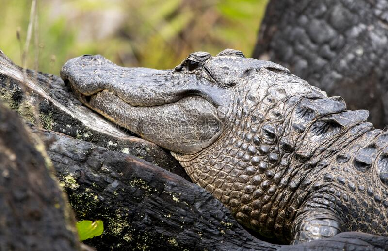 American Alligator laying on burned Cypress Stumps in the swamp. Large American Alligator laying on burnt Cypress Tree Stumps in the swamp.  Minnie`s Lake stock photography