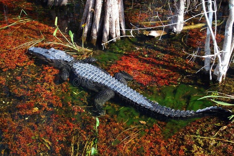 American Alligator royalty free stock image