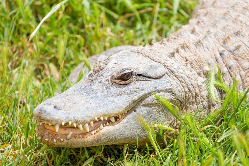 American alligator. (Alligator mississippiensis) on grass royalty free stock photo