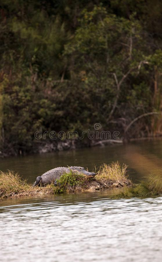 American alligator Alligator mississippiensis suns itself on a s. Mall island in a swamp at Lakes Park in Fort Myers, Florida stock image