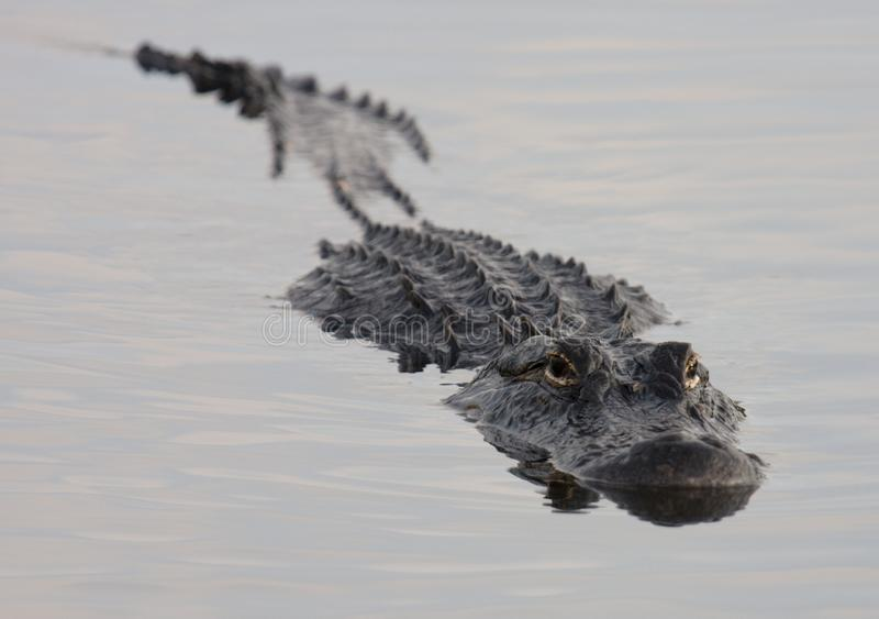 Alligator mississippiensis swimming in the Everglades. American alligator mississippiensis swimming in dark water in Everglades National Park, Florida stock photos