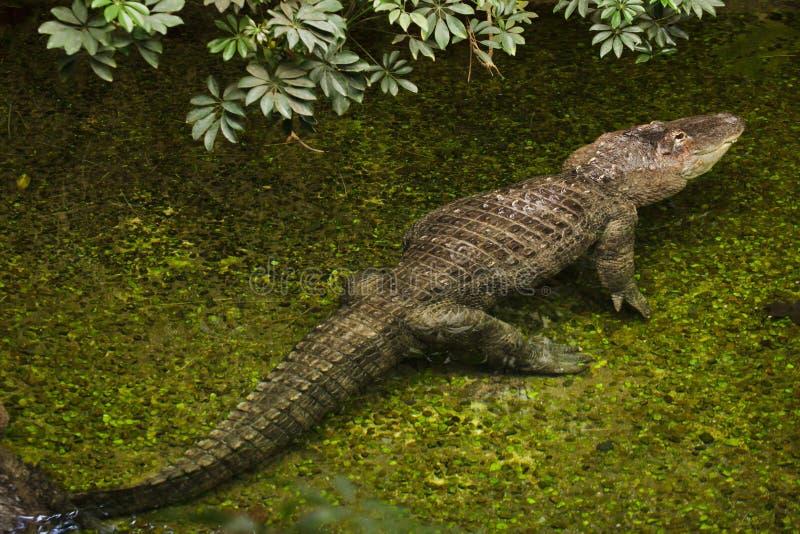 American alligator Alligator mississippiensis. Wild life animal royalty free stock photography