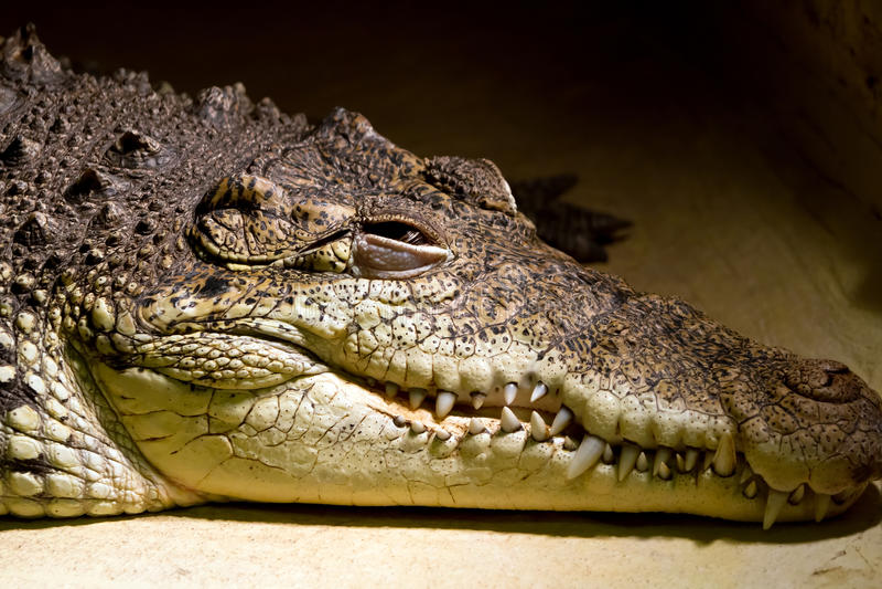 American alligator portrait royalty free stock photo