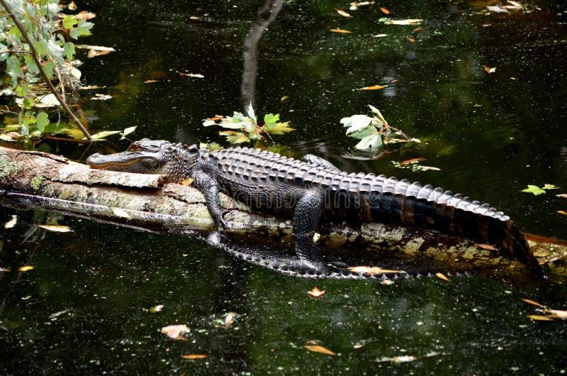Download American Alligator Sun Bathing On Log Stock Photo - Image: 31167174