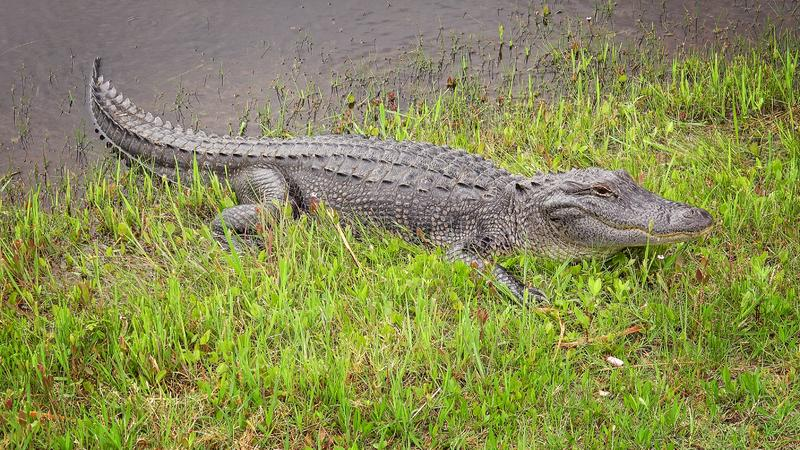 American alligator sunning himself on bank of a canal stock photos