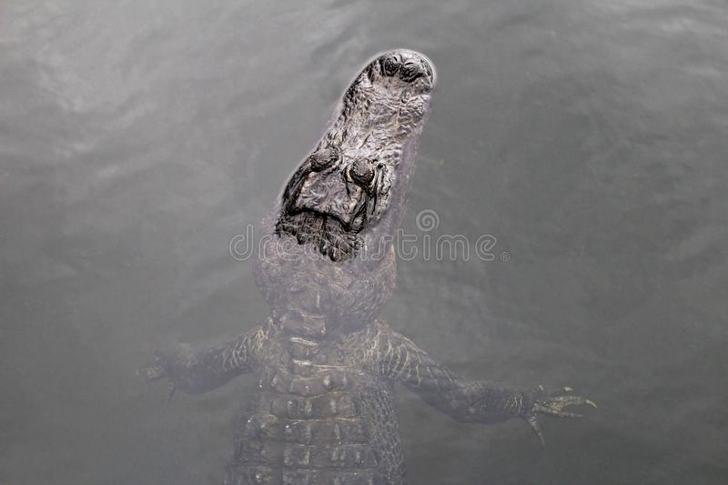 American alligator swimming in a lake, top view, Everglades National Park, Florida, USA. American alligator swimming in a lake, top view, Everglades National royalty free stock photo