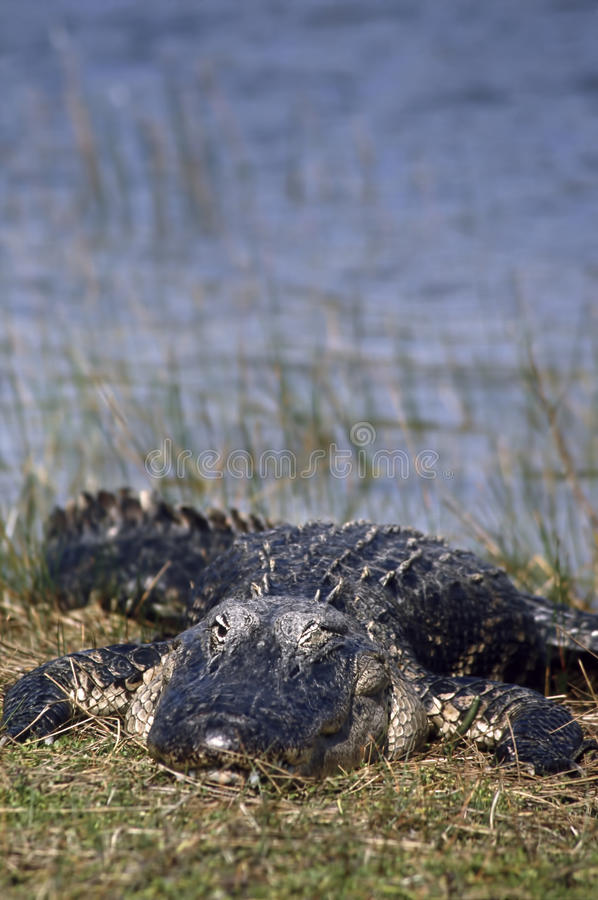 American Alligator winking. At viewer photo taken in the Everglades National Park, Florida royalty free stock photos