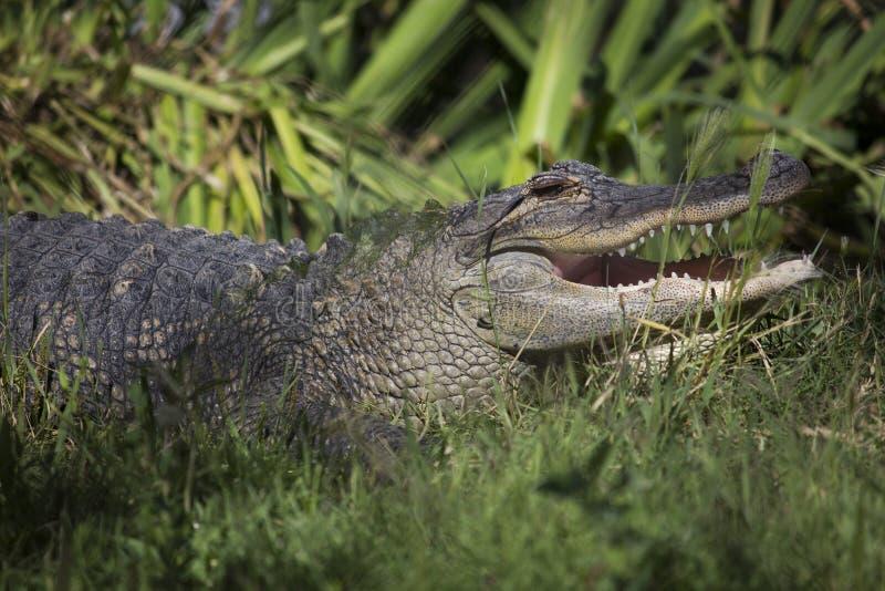American Alligator in zoo enclosure royalty free stock image
