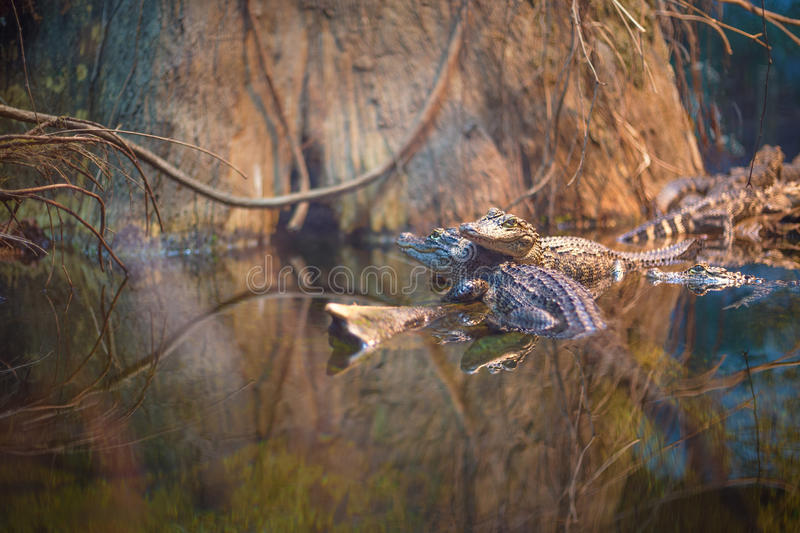 American Alligators royalty free stock photo