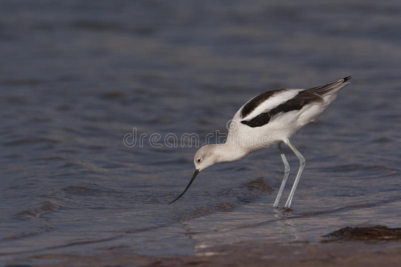 Download American Avocet stock image. Image of coast, north, animals - 13877465