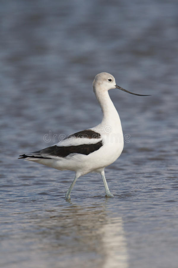 Download American Avocet Royalty Free Stock Photography - Image: 18195667