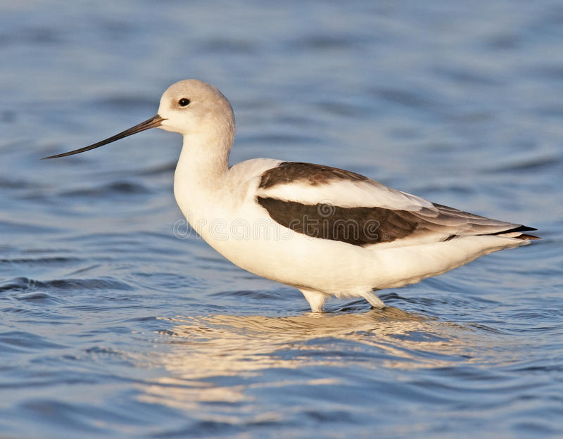 Download American Avocet Royalty Free Stock Photography - Image: 19469047