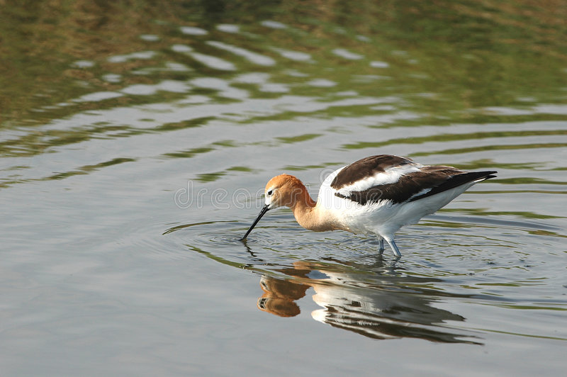 Download American Avocet stock photo. Image of calm, clear, americana - 2774544