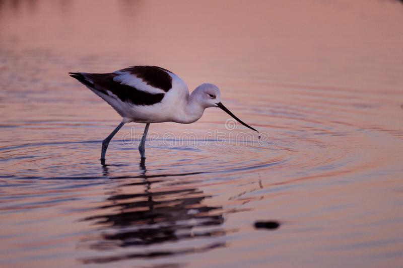 American Avocet feeding in sunset reflected waters. Photo taken at Bolsa Chica near Los Angeles. Scientific name: Recurvirostra americana. The American avocet is royalty free stock image