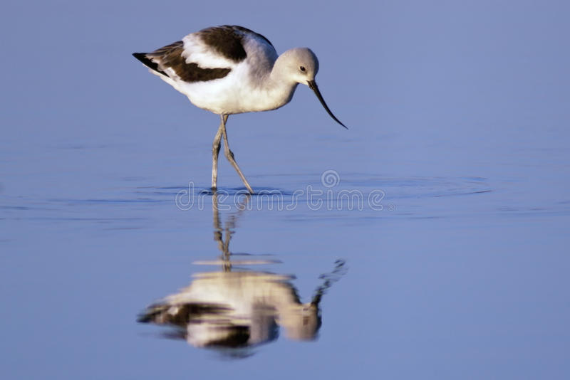 Download American Avocet Foraging stock image. Image of animal - 22983003