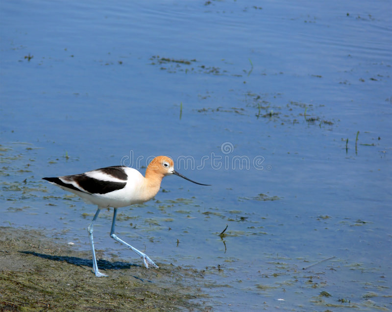 American Avocet with Room for Text stock photography