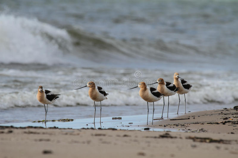 American Avocets on the Beach royalty free stock image