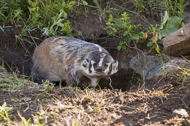 American Badger. The American Badger Taxidea taxus defends its burrow by hissing, scratching and biting royalty free stock photography