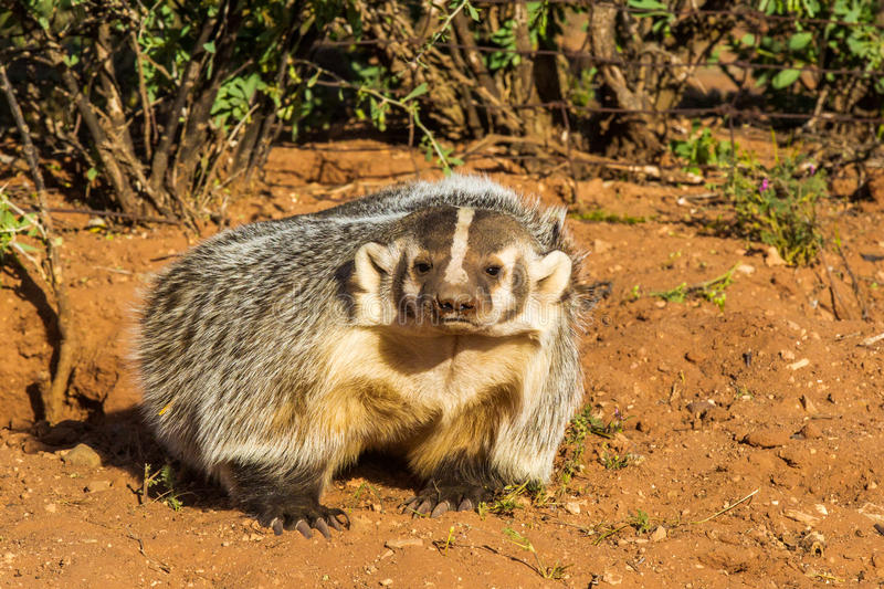 American Badger. Adult American Badger Outside Its Burrow With Mud On Its Nose royalty free stock photo