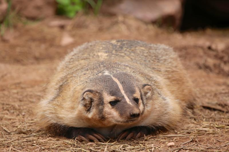 American Badger closeup stock images