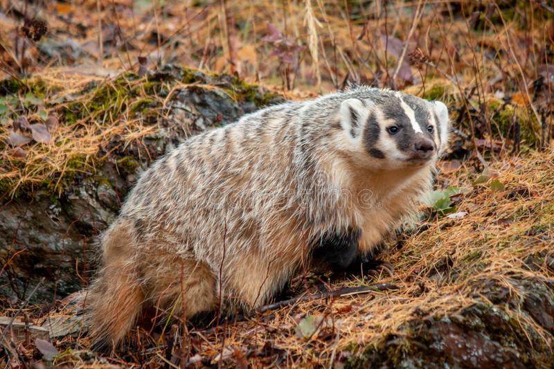 American Badger in the Fall. An American badger enjoying a late fall afternoon. These little critters are cute and very photogenic, but watch out! They can be royalty free stock image