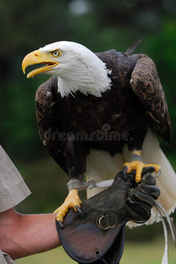 American bald eagle. On the glove of a falconer royalty free stock photo