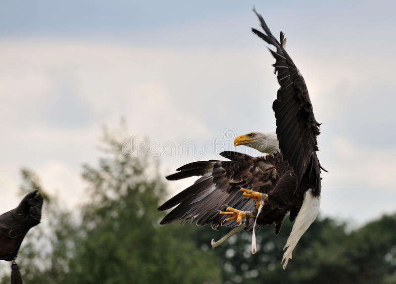 American bald eagle. In flight just about to land on the glove of a falconer royalty free stock images