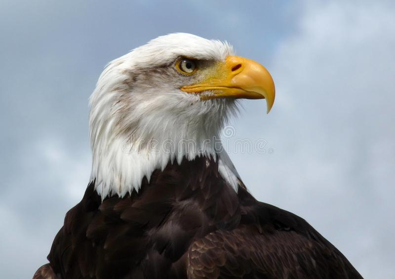 American Bald Eagle. American bald eagle, head and shoulders