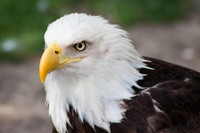 Download American bald eagle stock photo. Image of various, eagle - 10596974