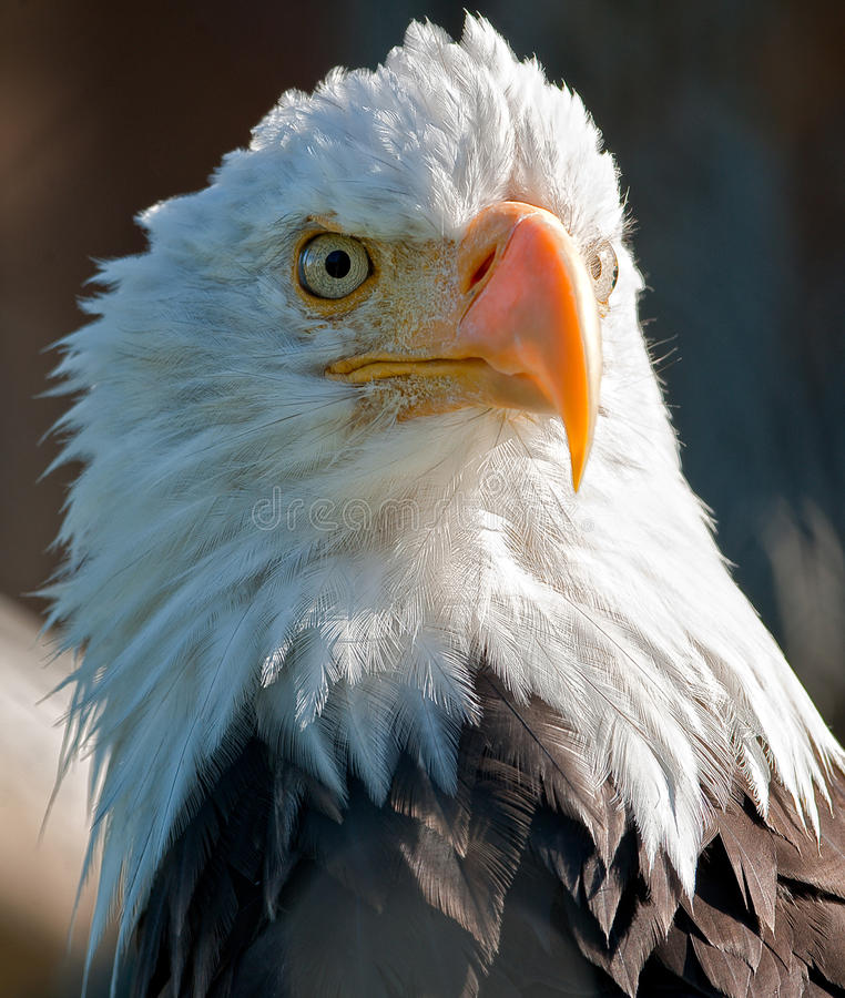 American Bald Eagle. In Alaska royalty free stock image