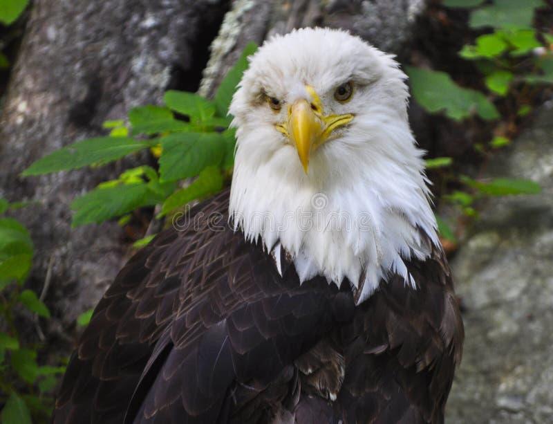 Download American Bald Eagle stock photo. Image of haliaeetus - 14943512