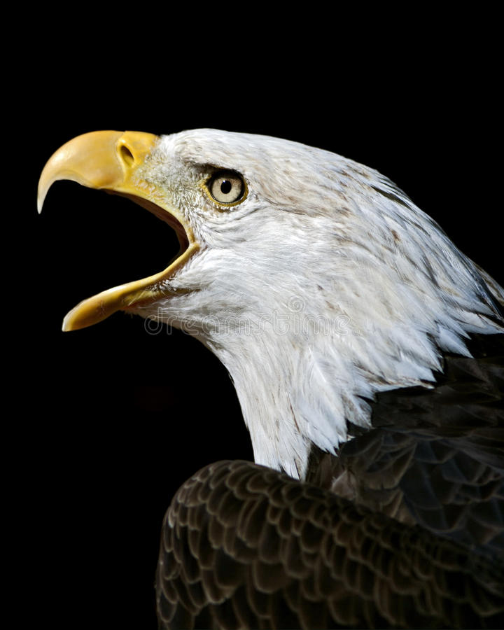 American bald eagle stock image
