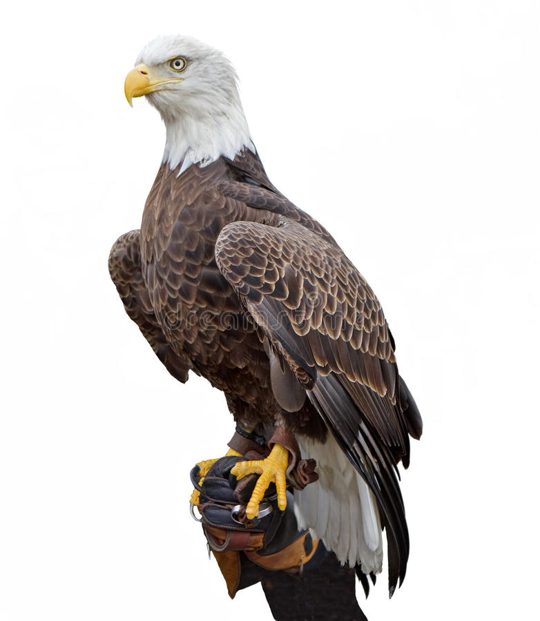 American Bald Eagle. An american bald eagle pearched on a handler's glove