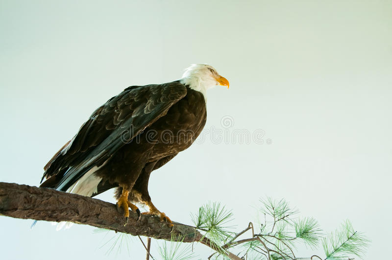Download American Bald Eagle stock image. Image of mature, birdwatching - 21012379