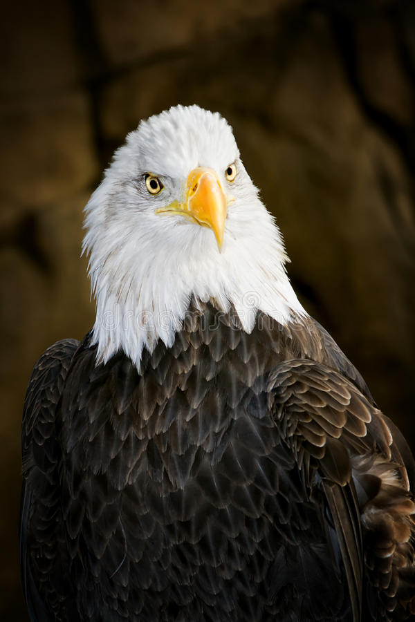 American Bald Eagle. Close up of an american bald eagle stock photography
