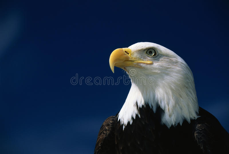 American bald eagle. This is a mature American bald eagle from the National Foundation to Protect America's Eagles. His name is Challenger. It shows his upper royalty free stock image
