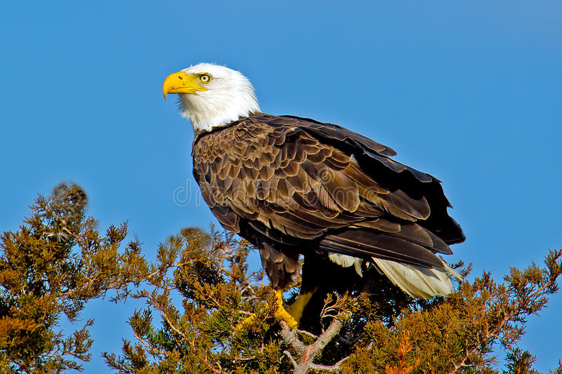 American Bald Eagle. Close up of Bald Eagle sitting high atop atree royalty free stock photos