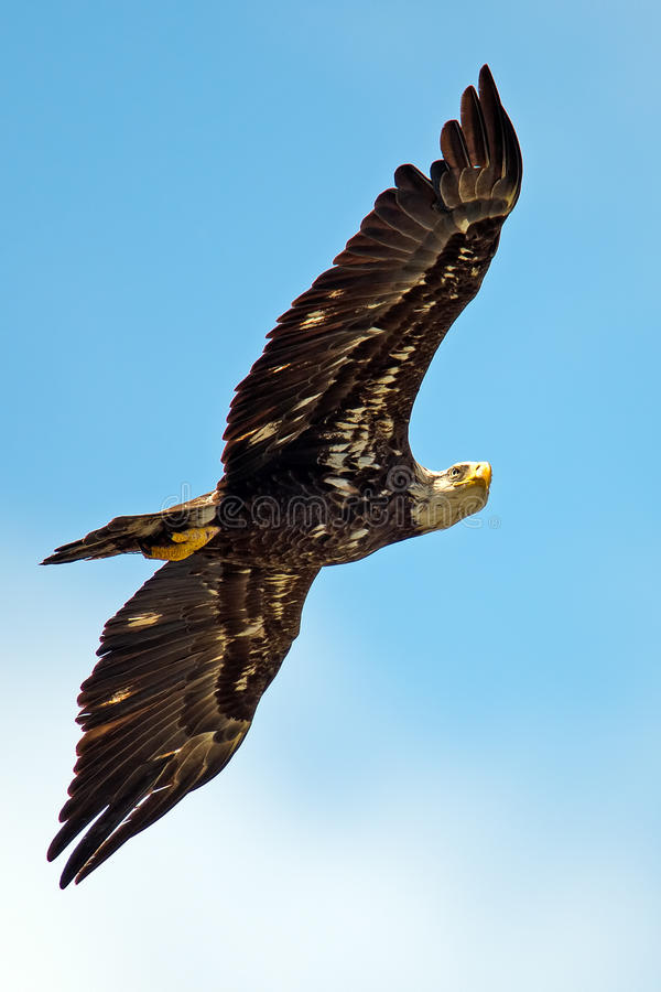 Download American Bald Eagle stock image. Image of white, marsh - 24581781